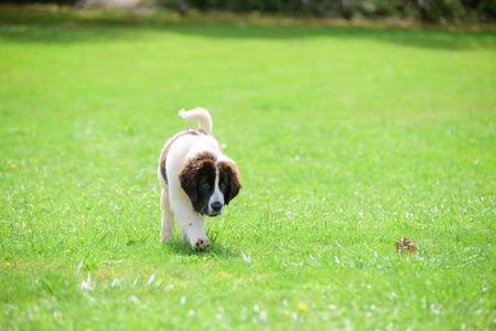 landseer dog puppy Banco de Imagens - 86673799