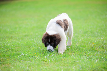 landseer dog puppy