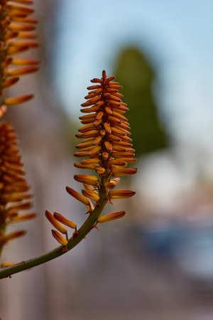 Aloe vera single flower Stock Photo