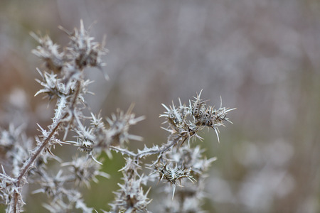 Scolymus maculatus dry