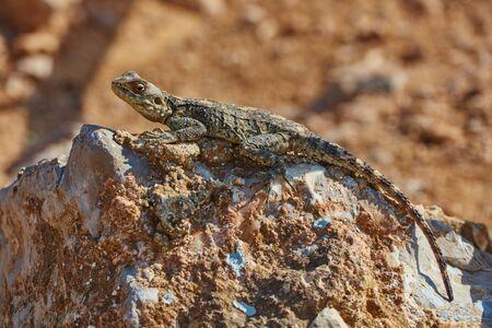 Stellion lizard sitting on a rock Stock Photo