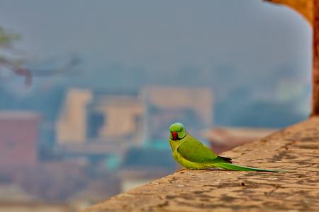 periquito: Loro verde en la India en primer plano de la pared antigua