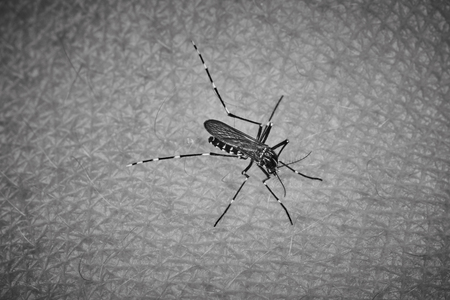 repellant: Tiger mosquito sucking blood on human skin