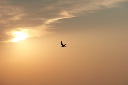 Hawk in a sunset sky, India Stock Photo