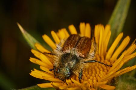 Eulasia bug on a plant macro photo Stock Photo