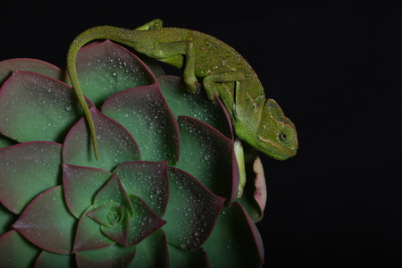 Chamelion on a succulent with raindrops on it, black backdrop studio photo Stock Photo