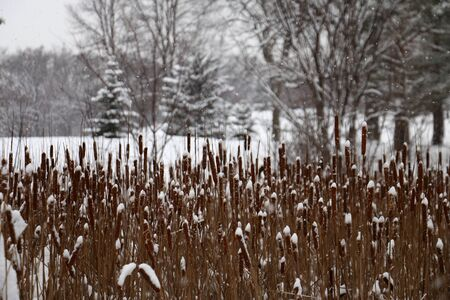 cattails: Snowy Cattails in Theodore Wirth Park, Minneapolis