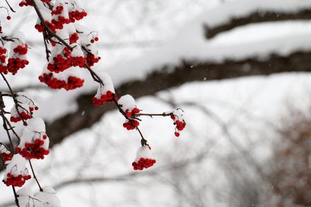 雪嵐の中の雪に覆われた山灰果実 写真素材