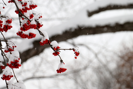 Snowy Mountain Ash Berries during a Snow Storm