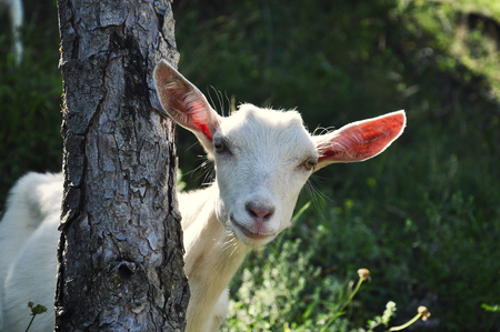 photgraphy: Close up view of a goat behind a tree trunk