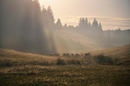 mountin: sheep in the mountin field