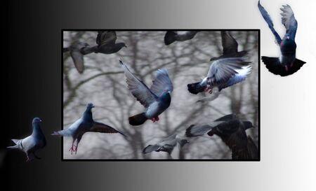 Pigeon in flight Reklamní fotografie