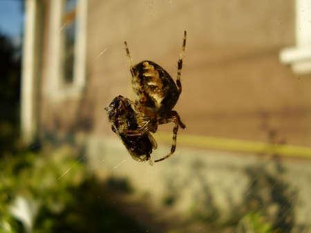 frontyard: A spider having dinner in the frontyard. Stock Photo
