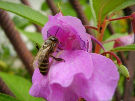 Bee in flower. photo