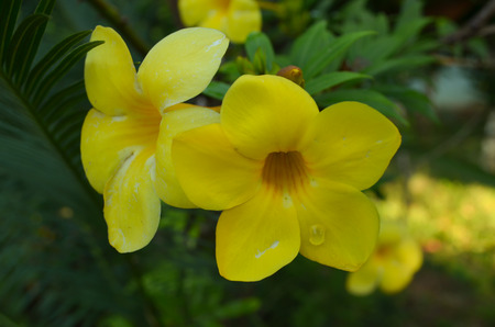 cathartic: The bunch of yellow flower namde all-amanda cathartica are full bloom.