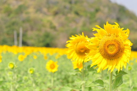 Sunflower summer flowering golden . photo