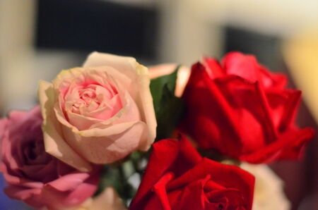 red pink: Roses color red pink. Stock Photo