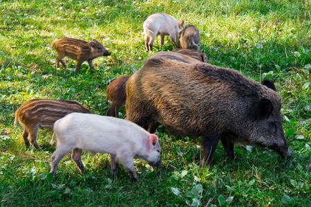 tevere: Wild boars in the natural reserve of Nazzano Romano in Italy