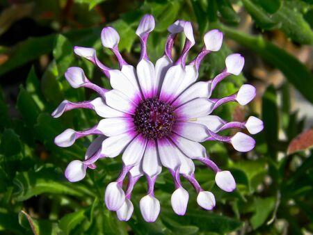 a rare: A rare white flower and purple