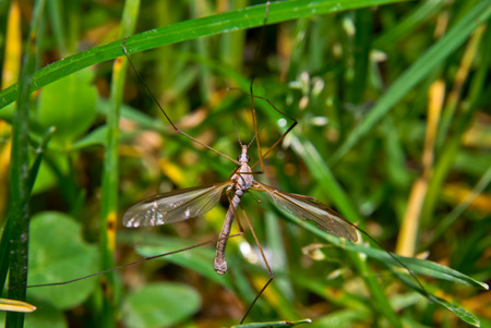 crane fly: Crane fly between the leaves in the macro Stock Photo