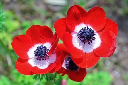 Tres flores de anémonas rojas como concepto de primavera
