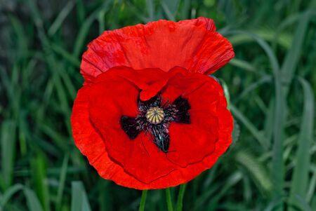 wilding: Close up of a splendid specimen of Italian poppy
