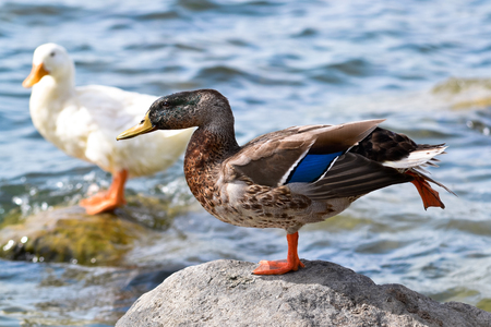 strangeness: A duck photographed in an unusual pose Stock Photo