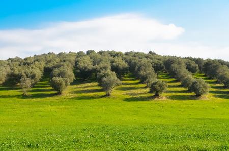 Weergave van een olijfgaard in het landschap van Lazio, in Italië