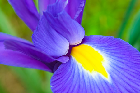 flower close up: Petal detail of blue and purple iris flower as a spring concept Stock Photo