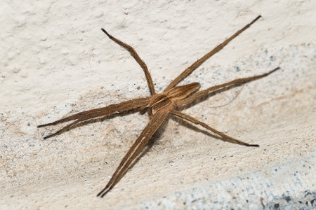 araneae: Close up of a mediterranean spider on a domestic wall