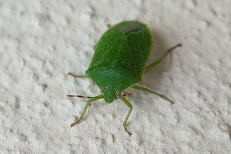 pentatomidae: Macro photograph of a specimen green bug that can be easily found in mediterranean homes and gardens Stock Photo
