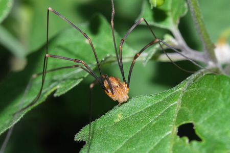 Macro photograph of a specimen opiliones that can be easily found in mediterranean gardens photo