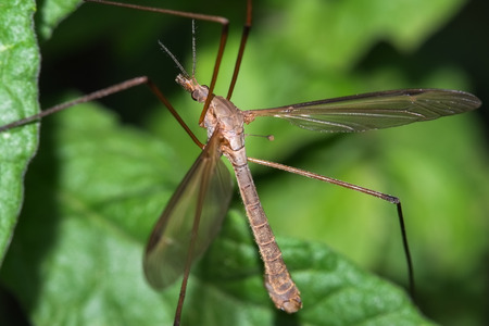 tipulidae: Macro photograph of a exemplary crane fly that can be easily found in mediterranean gardens