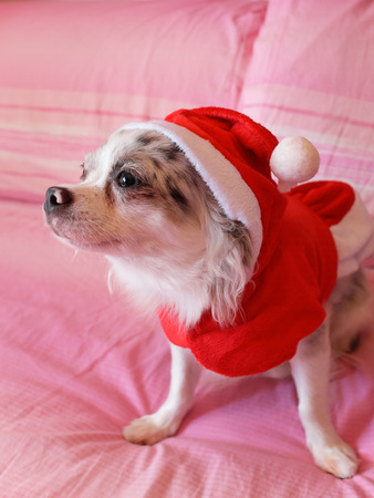 chiwawa: Close up of a chihuahua papillon with Christmas dress as a concept of Christmas holidays 3 Stock Photo