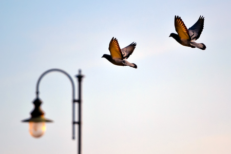 Close up of a pair of pigeons in flight Stock Photo