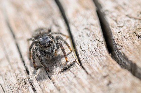 araneae: Close up of a jumping spider on wood