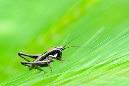 Close up of a cricket among the ears of corn Stock Photo
