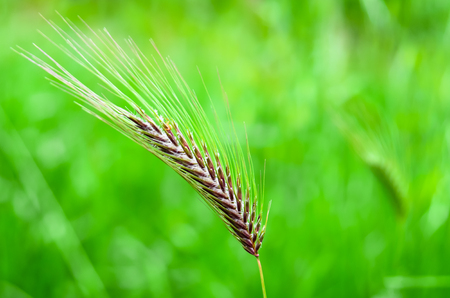 wild oats: Close up of a ear of corn as a concept of natural resources