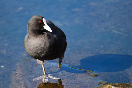 Close up of a coot with a severed leg Stock Photo