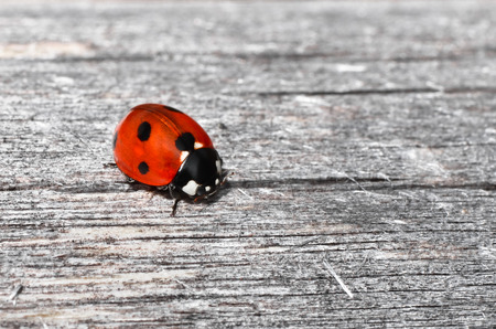 Macro photograph of italian ladybug on a wood