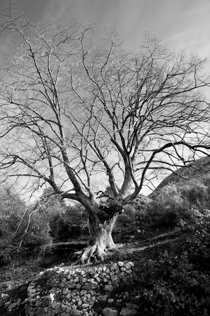 Close-up black and white of an old oak tree with bare branches as a concept of autumn