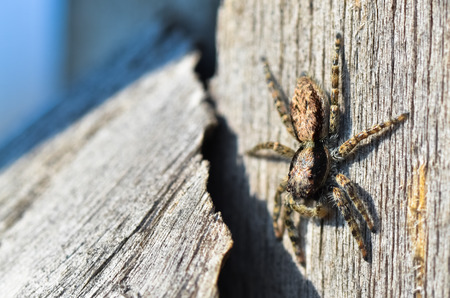 wood spider: Vertically close up of a jumping spider on wood Stock Photo