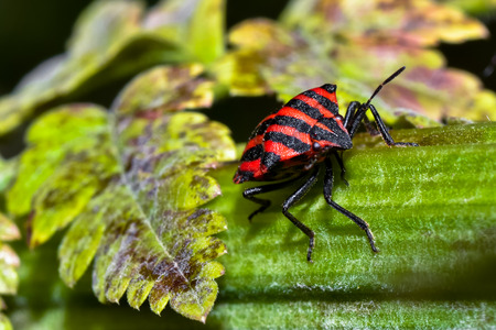 Macro photograph of a specimen red and black bug that can be easily found in mediterranean homes and gardens