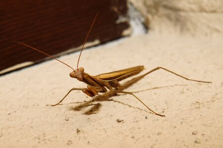 mediterranean homes: Macro photograph of a specimen brown mantis that can be easily found in mediterranean homes and gardens