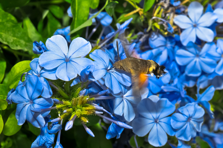 Close up of a Stellatarum among the blue flowers
