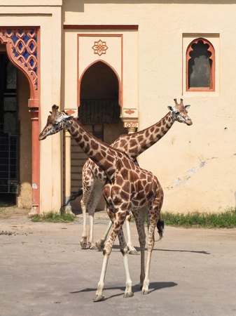 Two giraffes with their necks crossed in perspective Stockfoto