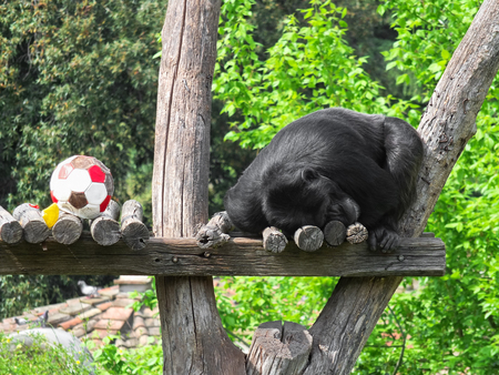 Close up of a gorilla tired after playing with ball