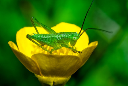 mediterranean homes: Macro photograph of a specimen cricket that can be easily found in mediterranean homes and gardens Stock Photo