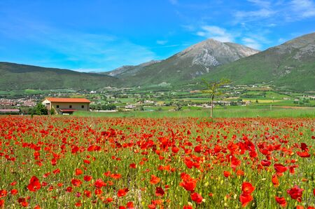 Spring view of a field of poppies in Norcia in Italy