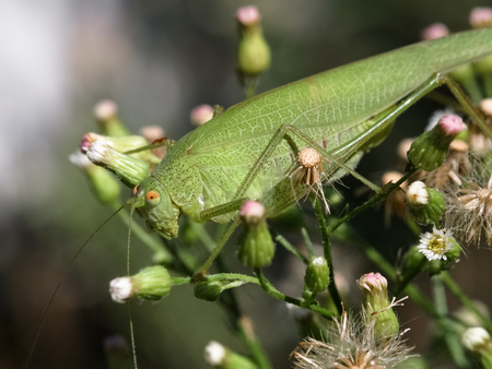 Macro photograph of a specimen grasshopper that can be easily found in mediterranean gardens